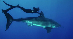 Kimi Werner swims with a Great White Shark. Variables with Kimi Werner.