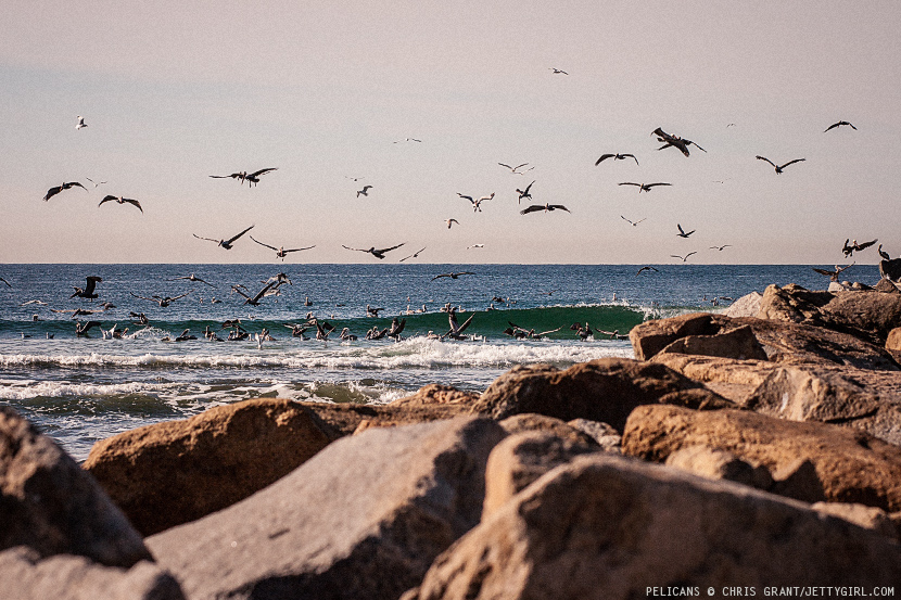 Pelican feeding frenzy in Oceanside, California. Photo by Chris Grant, Jettygirl Online Surf Magazine.