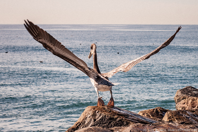 Pelican taking off from the jetty in Oceanside. Photo by Chris Grant, Jettygirl Online Surf Magazine.